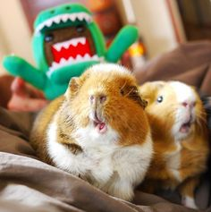 This Adorable Cosplaying Guinea Pig Will Steal Your Heart