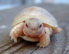 earth-song:  Baby albino tortoise, creepin' close.