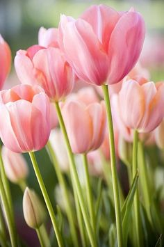 Spring is in the air!  Beautiful pink tulips.