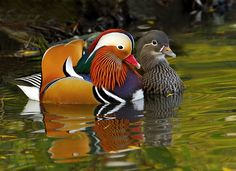 This is a photograph of two Mandarin ducks, taken in Richmond park surrey. These colourful birds are plentiful in and around the London area.