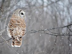 Owl in winter. Love Birds, Beautiful Birds, Beautiful World, Pigeon, Barred Owl, Owl Always Love You, Mundo Animal, Winter Beauty, Favim