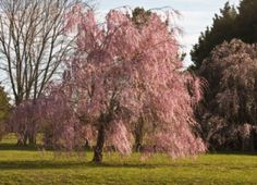 Weeping willow tree in full bloom in the spring time. Stock Photo - 4651885