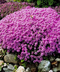 – Gardening Tips Hardy Perennials, Flowers Perennials, Planting Flowers, Creeping Thyme, Evergreen Hedge, Hardy Geranium, Thymus Serpyllum, Border Plants, Ground Cover Plants