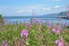 Épilobes en fleurs au parc national du Bic Bas Saint Laurent, Parc National, Camper, Mountains, Nature, Plants, Travel, Caravan, Naturaleza