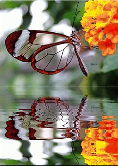 Glass wing butterfly, gorgeous with reflection