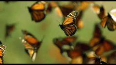 DisneyNature:  Wings of Life - Monarch Butterflies on Vimeo