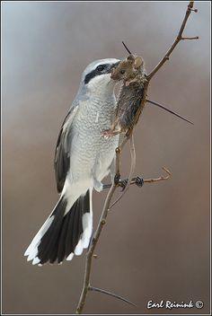 Northern Shrike visits the Minnesota bird feeders in winter to feast on small song birds Beautiful Birds, Animals Beautiful, Cute Animals, Beautiful Moments, Bird Crafts, Bird Drawings, Cute Creatures, Birds Of Prey, Bird Species