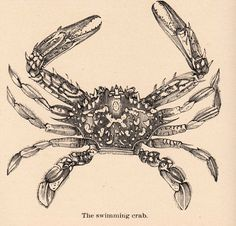 "This is a nice old engraving of a crab. According to the caption this particular type of crab is called a ""Swimming Crab"". A very nice piece of clip art for your seaside themed craft projects."
