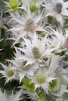 Giant Sea Holly flowers Eryngium Giganteum 'Silver Ghost' * Perennial, grows in poor soil, drought tolerant, full sun, tall. Unusual Flowers, Unusual Plants, White Flowers, Beautiful Flowers, Tropical Flowers, Holly Plant, Holly Flower, Sea Holly, Holly Holly