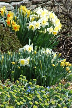 Various types of daffodils are at the center of this spring landscape scene. As you look back over the flowers in your yard this spring, would you say you had a sufficiently large variety of bulb plants? Think you could do better? If so, check out this resource for ideas: http://landscaping.about.com/od/perennialflowers/a/bulb_plants.htm