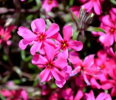 """Moss phlox, also known as moss pink, mountain phlox or creeping phlox, is a vigorous, spreading, mat-forming, sun-loving phlox that grows to only 6"""" tall but spreads to 24"""" wide. It is noted for it creeping habit, its linear to awl-shaped leaves, and its profuse carpet of mid-spring flowers with notched flower petals."""