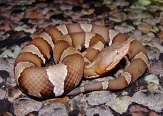 To get to the bottom of some of the assumptions about snakes in the United States and separate fact from fiction, Live Science talked to several snake experts. Here are some commonly held beliefs about snakes and whether they're true or false. Science For Kids, Science And Nature, Snake Story, Snake Facts, Coral Snake, Forest Habitat, Pit Viper, Snake Venom, Beautiful Snakes