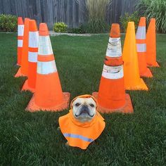 """✈️V ---------- Fellas, stay in """"Flying V"""" formation. I'll lead you to our destination, which just so happens to be an all-you-can-handle waffle buffet. ---------- #hamlin #hamlinthefrenchie #frenchbulldog #roadcone #sundayfunday #flyingv #mustbeamightyducksthingwithwaffles"""