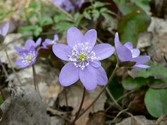 Hepatica, liverwort, kidneywort, pennywort, (Anemone hepatica). Late winter, and spring flowering perennial. Grows in deep shade, or full sun. Heavy or sandy soils. Needs moisture and winter snow cover.