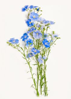 The delicate blue flowers of the flax plant.