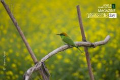 Cute Little Green Bee Eater, by Shahnaz Parvin - The little green bee eater usually seats in field where it may finds some bees. This shot was taken from a mustard field, where it seat long time. Like other bee-eaters, this species is a richly coloured, slender bird.