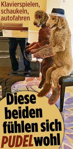 http://www.bild.de/news/ausland/pudel/wir-fuehlen-uns-pudelwohl-44726462.bild.html