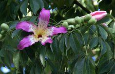 Florettseidenbaum (Ceiba speciosa), Catania, Piazza Papa G… | Flickr - Photo Sharing!