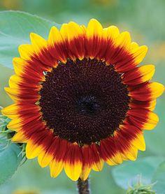 Sunflower, Solar Flare