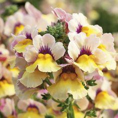 Sunsatia® Mango - Nemesia hybrid - Multicolored flowers are abundant all season; good early spring color; low maintenance.