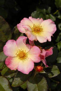 Why Rose Gardening Is So Addictive - Urban Gardening Beautiful Roses, Beautiful Gardens, Beautiful Flowers, Exotic Flowers, Purple Flowers, Sugar Flowers, Wild Flowers, Fresh Flowers, Rose Reference