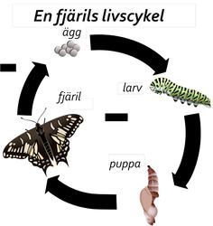 The four stages of the life cycle of an Anise Swallowtail Moth Life Cycle, Stages Of A Butterfly, Learn Swedish, Bra Hacks, Flying Flowers, Life Cycles, Beautiful Butterflies, Classroom Activities, Science And Nature