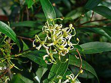 Stenocarpus salignusa