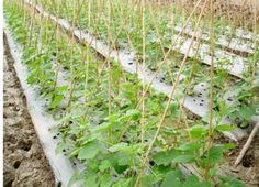 màng phủ nông nghiệp tăng khả năng bảo vệ cây trồng giúp cây sinh trưởng tốt cho năng suất cao hơn