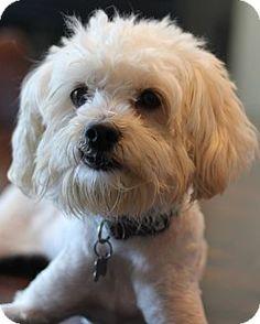 San Pedro, CA - Maltese/Poodle (Miniature) Mix. Meet Jake, a dog for adoption. http://www.adoptapet.com/pet/11877659-san-pedro-california-maltese-mix