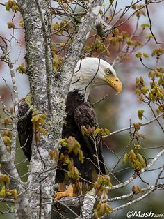 Mashaghati Photography Cape Breton Island, Nova Scotia, Canada - Bald Eagle
