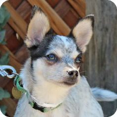 Walnut Creek, CA - Chihuahua Mix. Meet Gromit a Dog for Adoption.