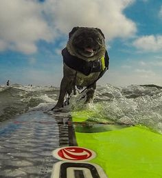 Our dog loves to go surfing at Del Mar Dog Beach. She also likes to go snowboarding, running in the lagoon and hanging out with her buddy Jonny. She likes to go to Starbucks and have Puppachinos (which are small cups of whipped cream). She also loves to look a little bunnies in the yard and, and gets so excited!! She also loves it when grandma comes over.