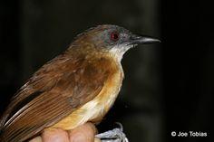 Goeldi's Antbird(Myrmeciza goeldii)  LosAmigosPE07_f_Tobias