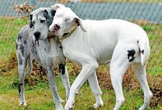 Lilly the blind Great Dane, right, with her guide dog Maddison at Dogs Trust Shrewsbury, based in Roden. Great Dane Rescue, Great Dane Puppy, I Love Dogs, Cute Dogs, Awesome Dogs, Massive Dogs, Dogs Trust, Companion Dog, Guide Dog