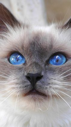 Kitty cat, face, color, furry, blue, eyes, cute animal / nature photography pictures - ragdoll, himalayan.