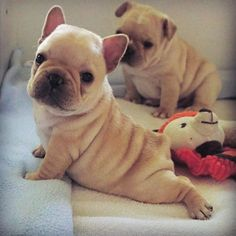 Yoga time ❤ for these the French Bulldog Puppies
