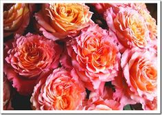 Beautiful 'free spirit' roses in shades of orange, coral, peach, and pink.