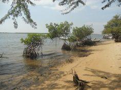 Palétuviers en bord de mangrove. La baignade sera tres agreable, le sable doux et l'eau translucide. Vous verez sans difficultés les nombreux bancs de jeunes poissons qui grandissent à l'ombre des racine de paletuviers