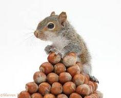 Photograph of Young Grey Squirrel (Sciurus carolinensis) with pyramid of hazel nuts. Hamsters, Rodents, Happy Squirrel, Cute Squirrel, Squirrels, Squirrel Feeder, Raccoons, Baby Animals, Funny Animals