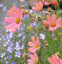 Cosmos bipinnatus 'Apricot'. bushy 3' x 3' plant. Generally a late bloomer, from August to November. Sun.
