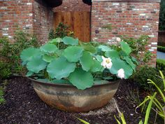 Planted with Lotus.  Sugar Kettle by Shoshanah, via Flickr