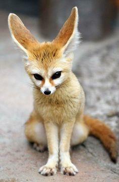i heard something. Ohhh what does the fox say Nature Animals, Baby Animals, Cute Animals, Fennec Fox Baby, Zoo Photos, Pet Fox, Fox Art, Pet Birds, Animals Beautiful