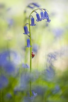Bluebell Lady