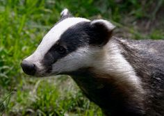 Images search results for badger from Dogpile. Badger Images, Honey Badger, Wisconsin Badgers, Animal 2, Nature Tree, Animal Wallpaper, Woodland Animals, Panda Bear, Mammals