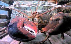 http://www.novascotiawebcams.com/en/webcams/lobstercam/   #LobsterCam #Halifax #NovaScotia