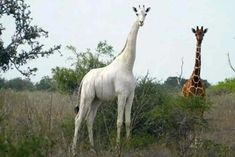 Rare White Giraffe and Her Calf Are Killed by Poachers in Kenya Conservancy Says Giraffes Conservation of Resources Endangered and Extinct Species Poaching (Wildlife) Albinism Her Calves, Rare Animals, Wild Animals, Dark Eyes, Nature Reserve, Ranger, Giraffes, Albinism, Animal Kingdom