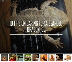 CARE Foods Bearded Dragons Eat - 10 Tips on Caring for a Bearded Dragon … → Lifestyle Pet Lizards, Reptiles, Amphibians, Bearded Dragon Food, Class Pet, Easy Pets, Pet Turtle, Paludarium, Healthy Pets