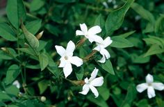 How to care for Poet's jasmine (Common White Jasmine) I hope to cultivate a vine near my moms back porch. Its west facing and would create the perfect environment for sunset watching, reading, and relaxing during the summers. The fragrance from them no doubt would ensure she sleeps well since the back porch is right off her bedroom.