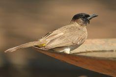 Bilbil okopcony - Dark-capped Bulbul - Malawi || www.szczytyafryki.pl || #Malawi #Ptaki #Afryka #Africanbirds