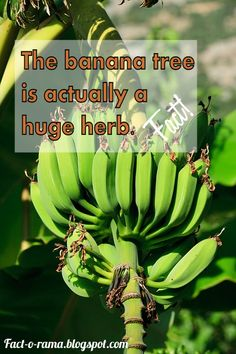 Banana Facts - 10 Amazing facts about bananas you never knew - Did you know the banana tree is actually a herb? For more banana facts please visit us! - Fact-o-Rama You Never Know, Just Go, Banana Facts, Oak Park Illinois, Student Body President, Banana Uses, Betty White, Step Kids, Floating In Water
